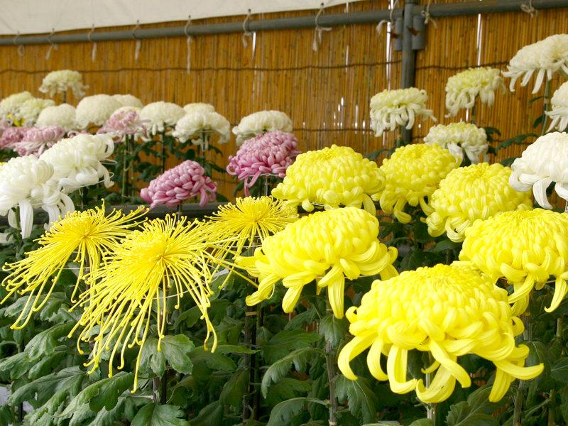 水戸の菊花展